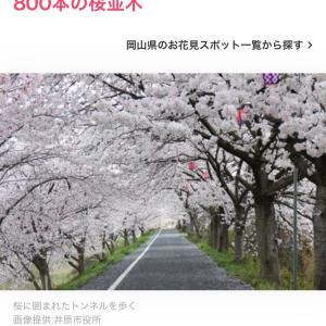 桜サイクリング