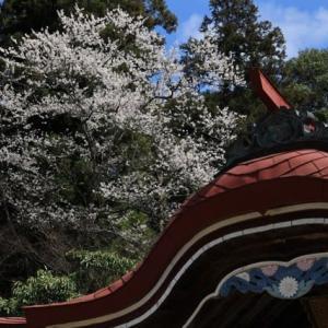 徳佐の枝垂れ 漢陽寺