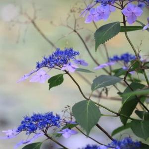 涼しさをよぶ花