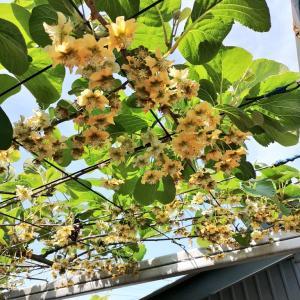 キウイフルーツ開花