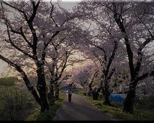 4月 土手の桜 もう日没