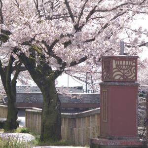 湊川沿いと朝日山公園の桜