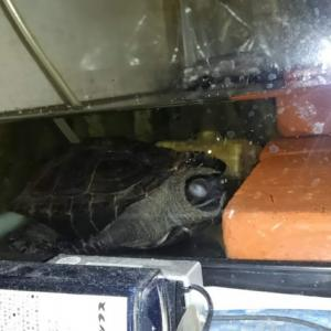 夕方水槽の水の中でお昼寝するクサガメさんの写真 5枚
