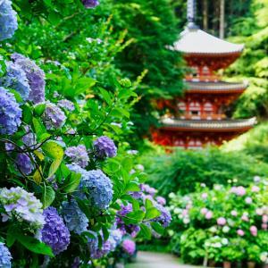 京都楊谷寺の紫陽花