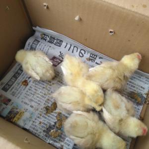 【鶏003】烏骨鶏の雛を飼う
