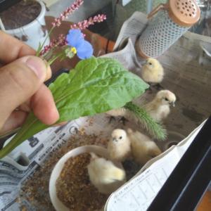 烏骨鶏の雛を飼う2【6日目】