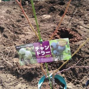 ブルーベリーを植える