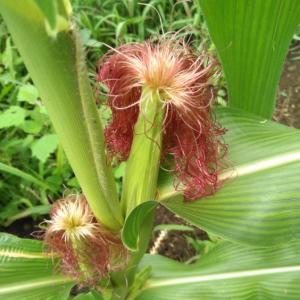 トウモロコシの雌穂のヒゲとヤングコーン