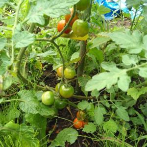ようやくミニトマトが盛ってきました!