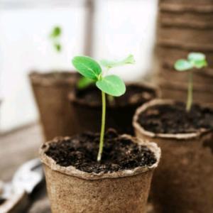 【家庭菜園は節約になるか】レタスを収穫!
