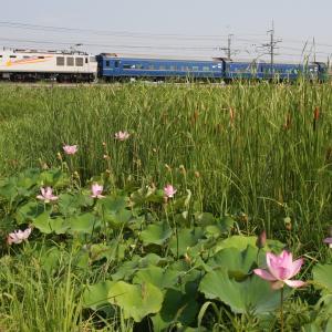 EF510牽引北斗星蓮の花とコラボ(今頃)