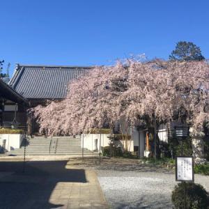 将軍桜/慶福寺(埼玉県蓮田市)