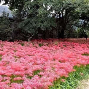 9月26日 真庭の彼岸花と蒜山ハーブガーデン
