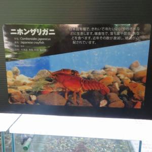 2021年、千歳水族館の日本ザリガニの水槽。