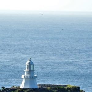 佐多岬灯台のサシバ