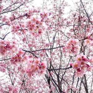 徳島にもある、寒桜。