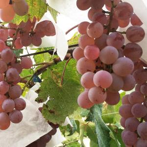 日本固有のワイン用品種『甲州』の特徴は?オススメのワインは?