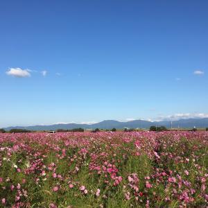 北陸さんぽ 福井県にコスモスを見に行きました