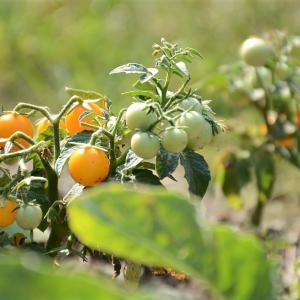 「ミニトマト」と「プチトマト」はなにが違うの?