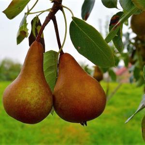 西洋梨の追熟方法をご紹介!