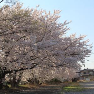 JA出荷場の桜が見頃です