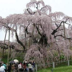 """""""思い出の桜"""""""