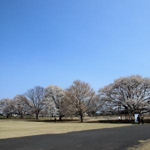 下野市 天平の丘 淡墨桜が見頃でした。
