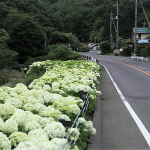 草津温泉行く途中にアナベルの群生が!