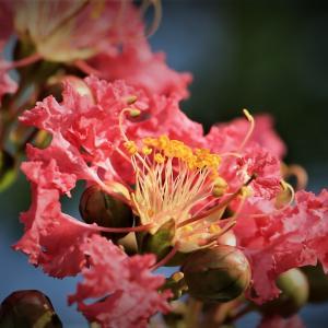 真夏に咲く百日紅