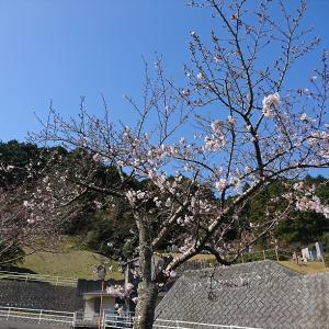 福岡の桜満開とiPhone