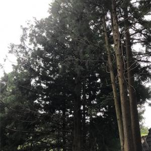 杉の枝下ろし