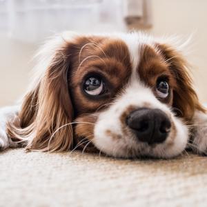 犬にとって有害な食べ物 チョコレートは毒!