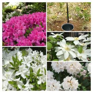 庭の花々満開&パークゴルフ解禁