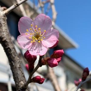 桜の季節ですが…
