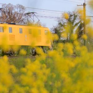 桜と菜の花と電気機関車と