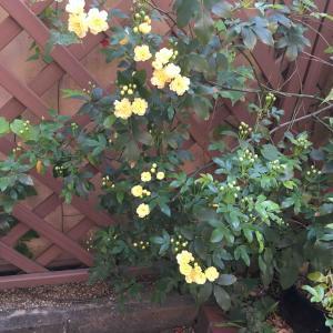 庭のバラが咲きました