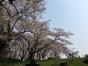 咲き誇るピンクの花びら ~紫雲出山~