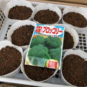 ブロッコリーの定植とニンニクの発芽