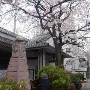 曇天の桜ポタ5