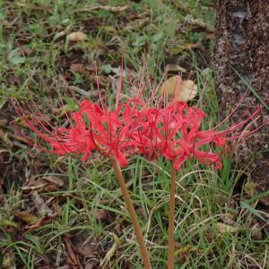 青森で彼岸花が咲きだしました