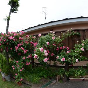 庭一面にバラが咲いた  魚眼レンズの楽しさ