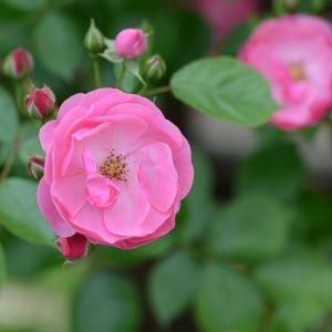 とにかく病気に強くいっぱい咲くバラ  アンジェラ