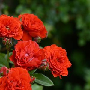 花もちが良く、庭にインパクトを与えるバラ つるオレンジメイアンディナ