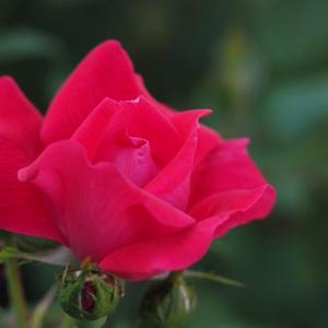 自分だからこそできることがきっとある   バラ咲きました