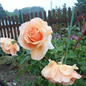 雨が降ったのでバラを切りました