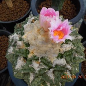 牡丹類の開花