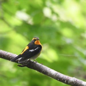 9月11日 札幌探鳥記その2 雨の野幌森林公園(泣)