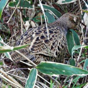 12月5日 六甲探鳥その3 マヒワとヤマドリ