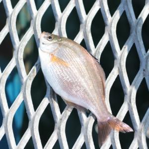 100均竹竿でウミタナゴを釣ってみた