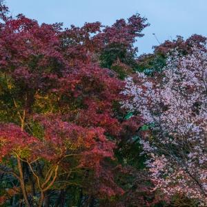 冬桜が見頃の様です 城峯公園